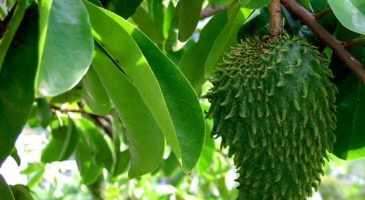 Health benefits of Guanabana